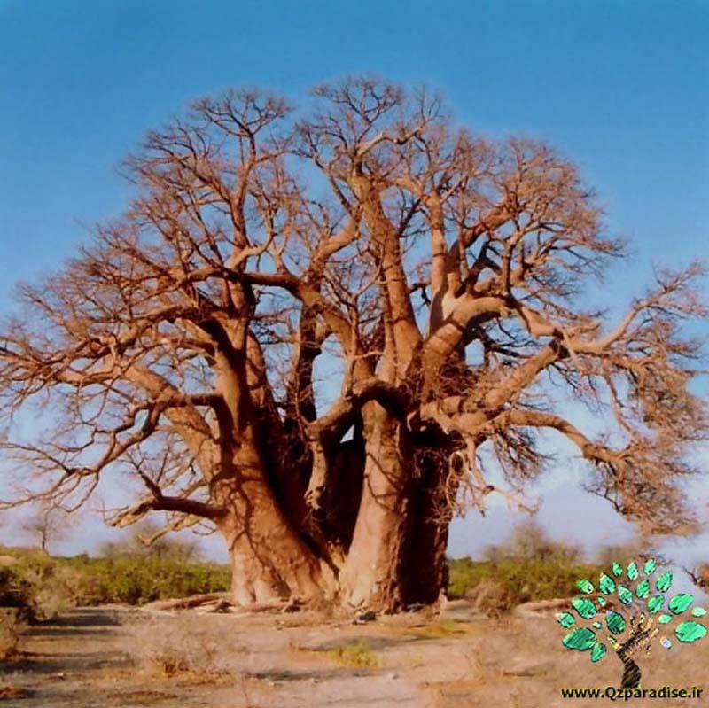 در صورتی که تصویر Adansonia digitata ( Baobab) 2 نمایش داده نشد با تیم پشتیبانی هماهنگ کنید