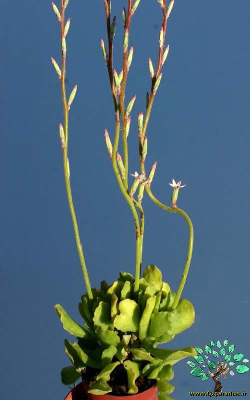 در صورتی که تصویر Adromischus cristatus var. zeyherii 2 نمایش داده نشد با تیم پشتیبانی هماهنگ کنید