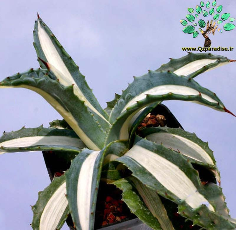 در صورتی که تصویر Agave americana mediopicta alba (medio variegata alba) 2 نمایش داده نشد با تیم پشتیبانی هماهنگ کنید