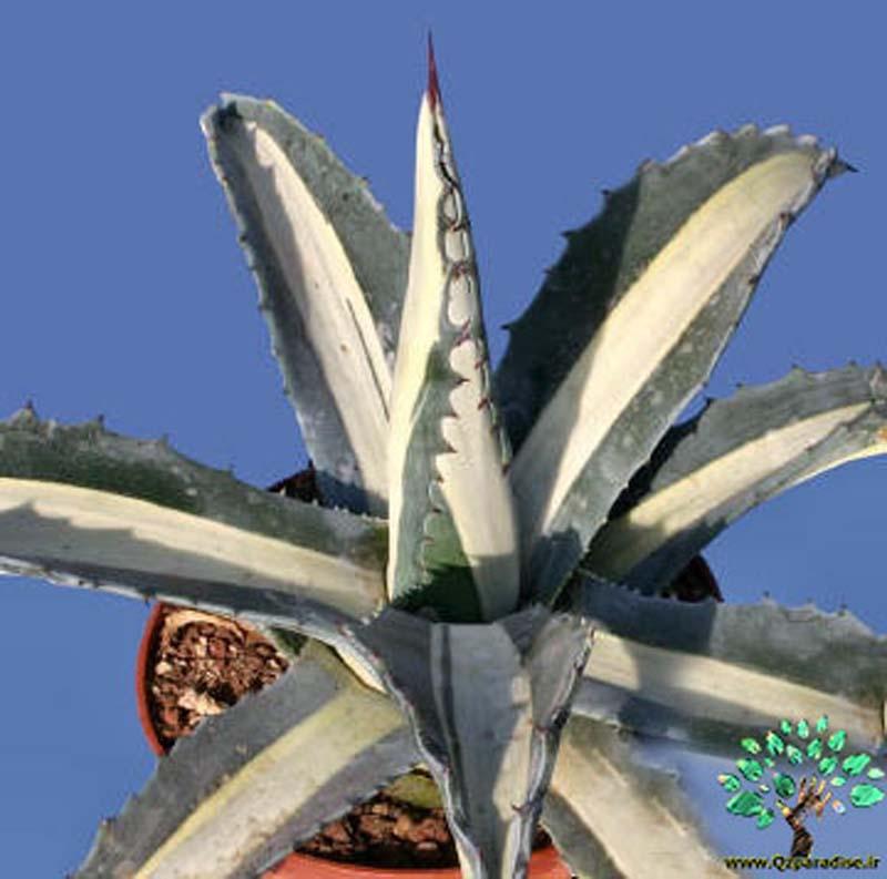 در صورتی که تصویر Agave americana mediopicta alba (medio variegata alba) 3 نمایش داده نشد با تیم پشتیبانی هماهنگ کنید
