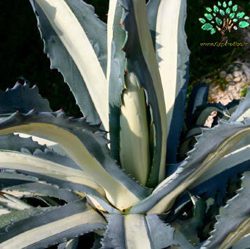 در صورتی که تصویر Agave americana mediopicta alba (medio variegata alba) 5 نمایش داده نشد با تیم پشتیبانی هماهنگ کنید