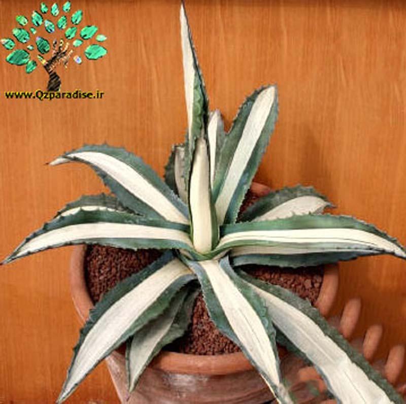 در صورتی که تصویر Agave americana mediopicta alba (medio variegata alba) 6 نمایشداده نشد با تیم پشتیبانی هماهنگ کنید