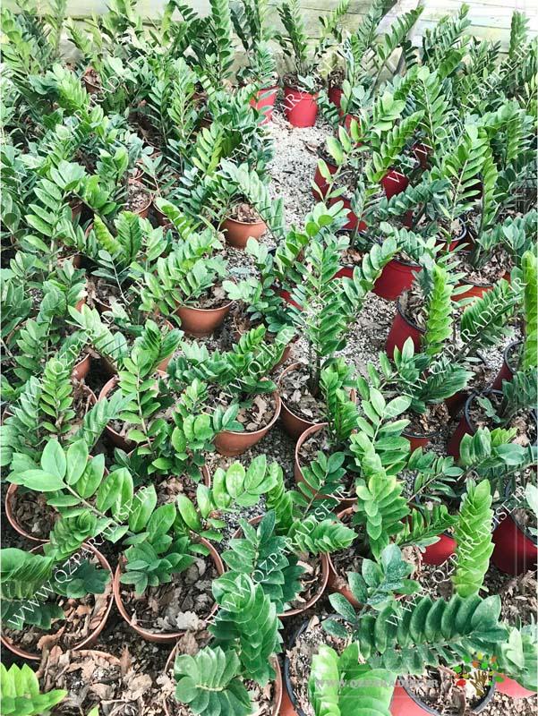 در صورتی که عکس گلخانه گیاهان آپارتمانی حسین آصفی گیاه زامیفولیا نمایش داده نشد با تیم پشتیبانی مجموعه پارادایس هماهنگ نمایید .