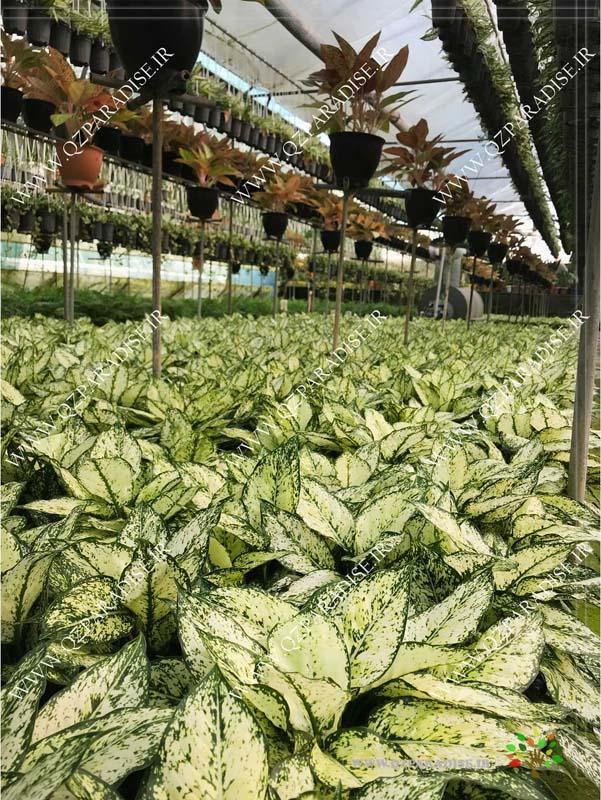 در صورتی که عکس گلخانه گیاهان آپارتمانی حسین آصفی گیاه آگلونما سفید برفی نمایش داده نشد با تیم پشتیبانی مجموعه پارادایس هماهنگ نمایید .