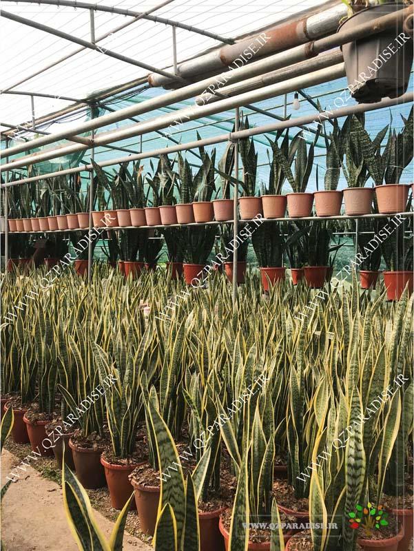 در صورتی که عکس گلخانه گیاهان آپارتمانی حسین آصفی گیاه سانسوریا نمای دیگر گلخانه نمایش داده نشد با تیم پشتیبانی مجموعه پارادایس هماهنگ نمایید .