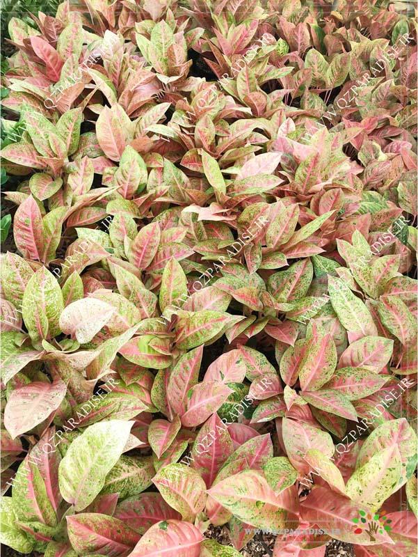 در صورتی که عکس آگلونما کامپیوتری از گلخانه گیاهان آپارتمانی آصفی نمایش داده نشد با تیم پشتیبانی مجموعه پارادایس هماهنگ نمایید .