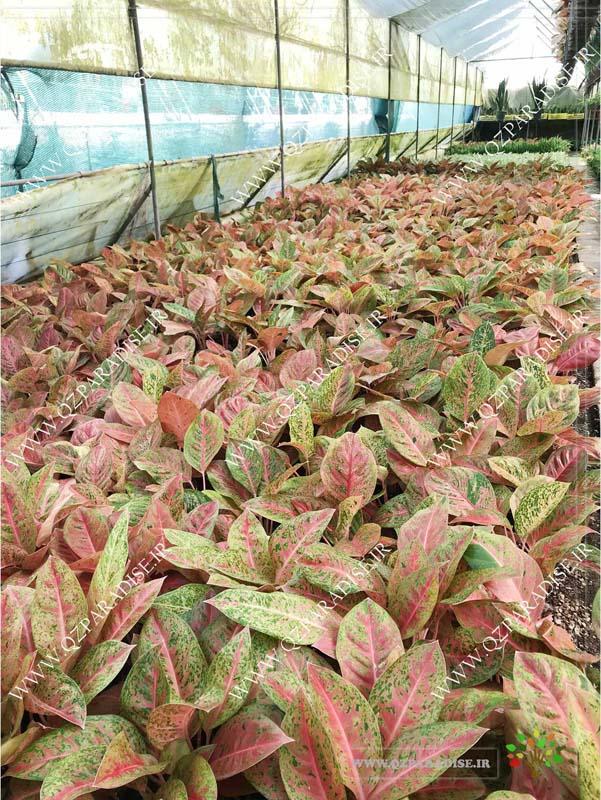 در صورتی که عکس گلخانه گیاهان آپارتمانی حسین آصفی گیاهان آگلونما صورتی کامپیوتری نمایش داده نشد با تیم پشتیبانی مجموعه پارادایس هماهنگ نمایید .