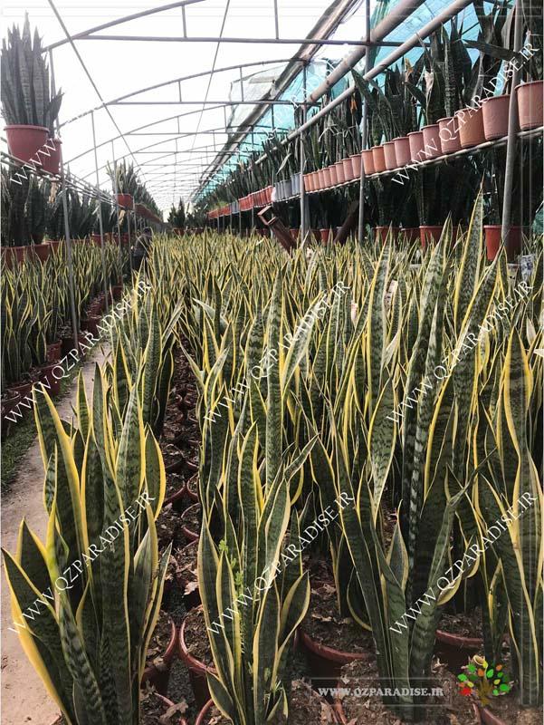 در صورتی که عکس گلخانه گیاهان آپارتمانی حسین آصفی گیاه سانسوریا نمایش داده نشد با تیم پشتیبانی مجموعه پارادایس هماهنگ نمایید .