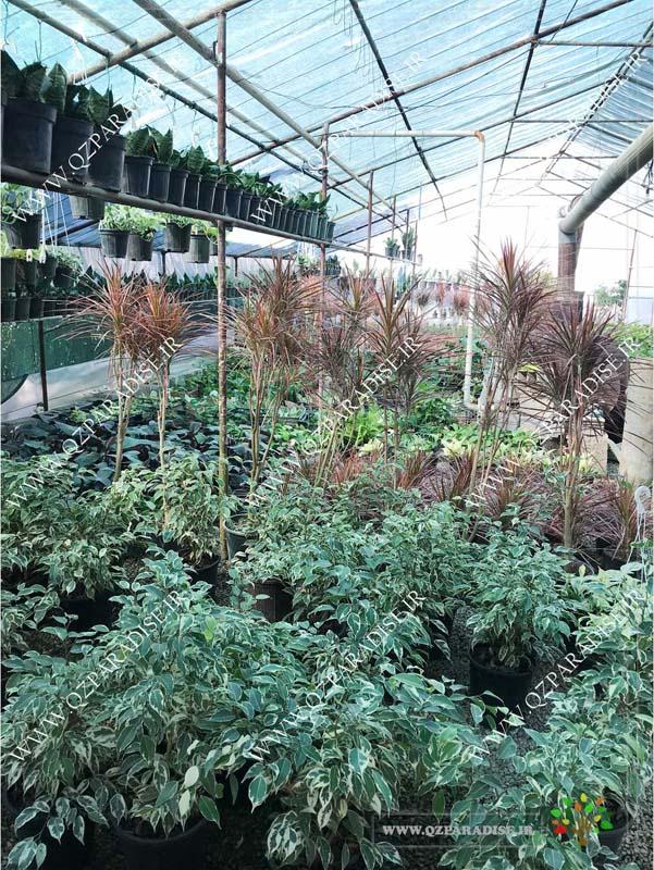 در صورتی که عکس گلخانه گیاهان آپارتمانی جعفر ناصری با گیاه های بنجامین ابلق ، دراسنا پرچی نمایش داده نشد با تیم پشتیبانی مجموعه پارادایس هماهنگ نمایید .
