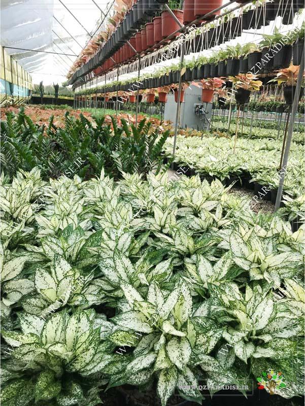 در صورتی که عکس نمای دیگر از گلخانه گیاهان آپارتمانی آصفی نمایش داده نشد با تیم پشتیبانی مجموعه پارادایس هماهنگ نمایید .
