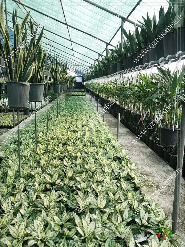 گلخانه گیاهان آپارتمانی حسن آصفی تولید گیاه زینتی