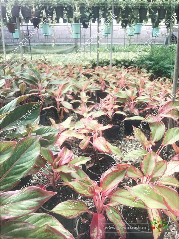 در صورتی که عکس گلخانه گیاهان آپارتمانی حسین آصفی گیاه آگلونما قرمز نمایش داده نشد با تیم پشتیبانی مجموعه پارادایس هماهنگ نمایید .