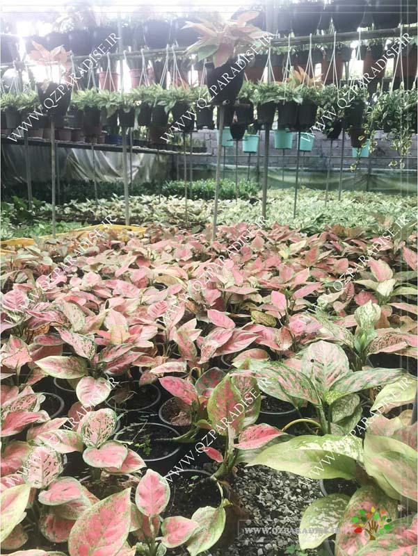 در صورتی که عکس گلخانه گیاهان آپارتمانی رمضانی گیاه آگلونما مینیاتور قرمز نمایش داده نشد با تیم پشتیبانی مجموعه پارادایس هماهنگ کنید .