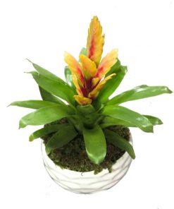 گیاه گازمانیا guzmania با گلهای زیبا با ماندگاری بالا در صورت عدم نمایش عکس گیاه گازمانیا با تیم پشتیبانی مجموعه پارادایس هماهنگ کنید.