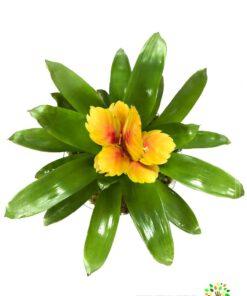گیاه گازمانیا با گلهای زیبا با ماندگاری بالا در صورت عدم نمایش عکس گیاه گازمانیا با تیم پشتیبانی مجموعه پارادایس هماهنگ کنید.