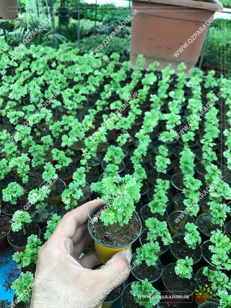 گیاه آرالیا ابلق