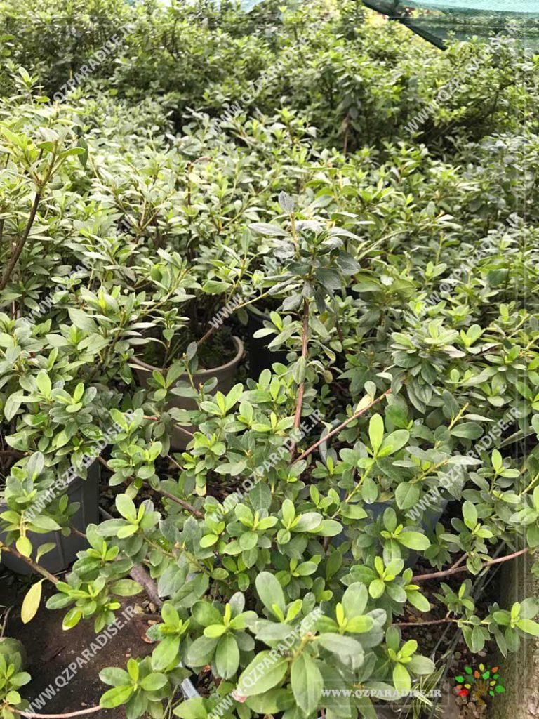 گیاه آزالیا با تنوع رنگی