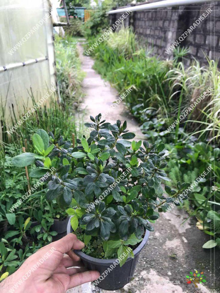 گیاه آزالیا کوچک