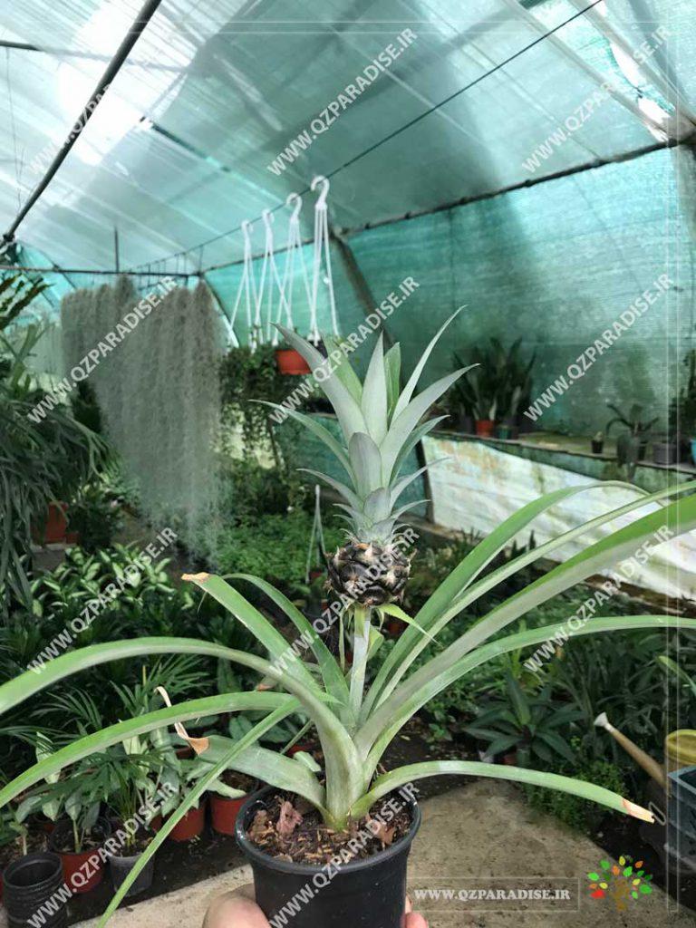 گیاه آناناس تزئینی