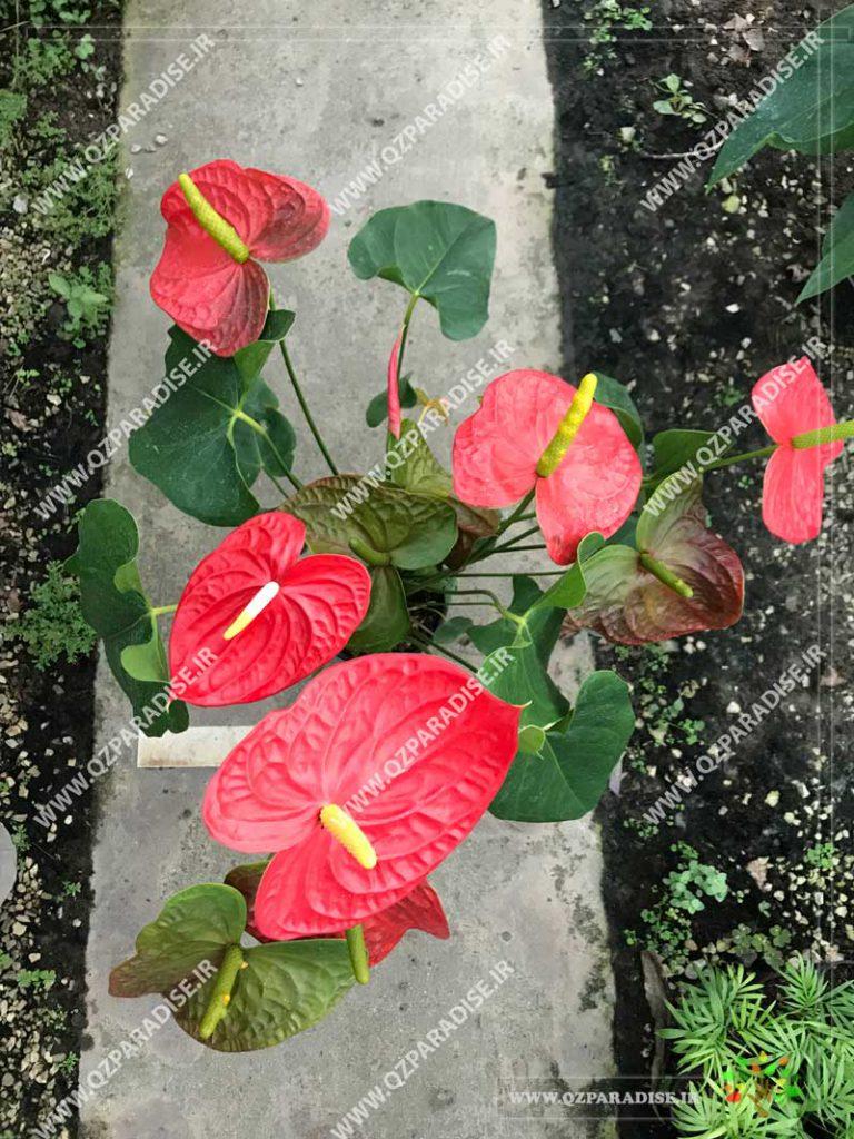 گیاه آنتوریوم گل قرمز