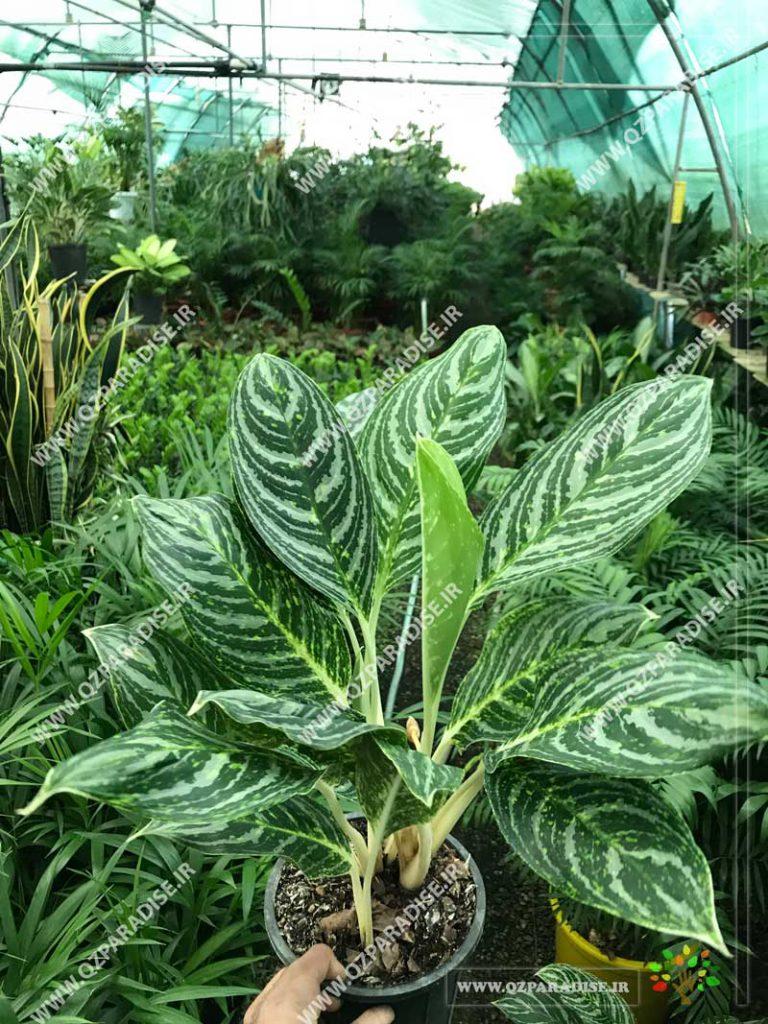 گیاه آگلونما برگ هندوانه ای