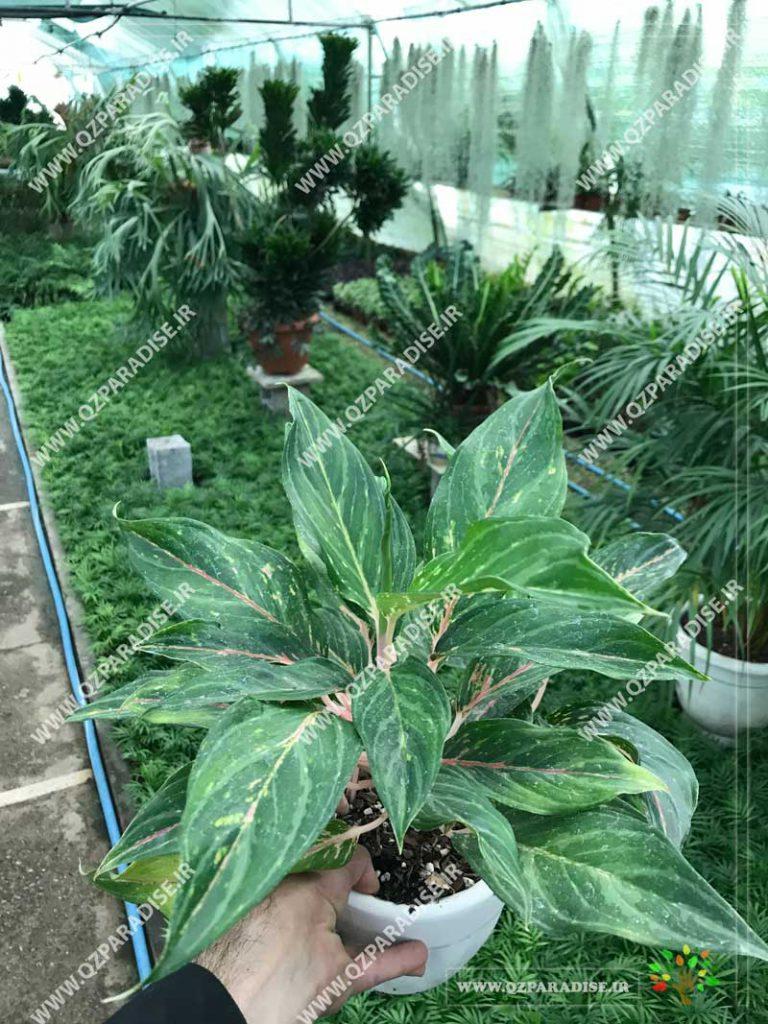 گیاه آگلونما سبز صورتی