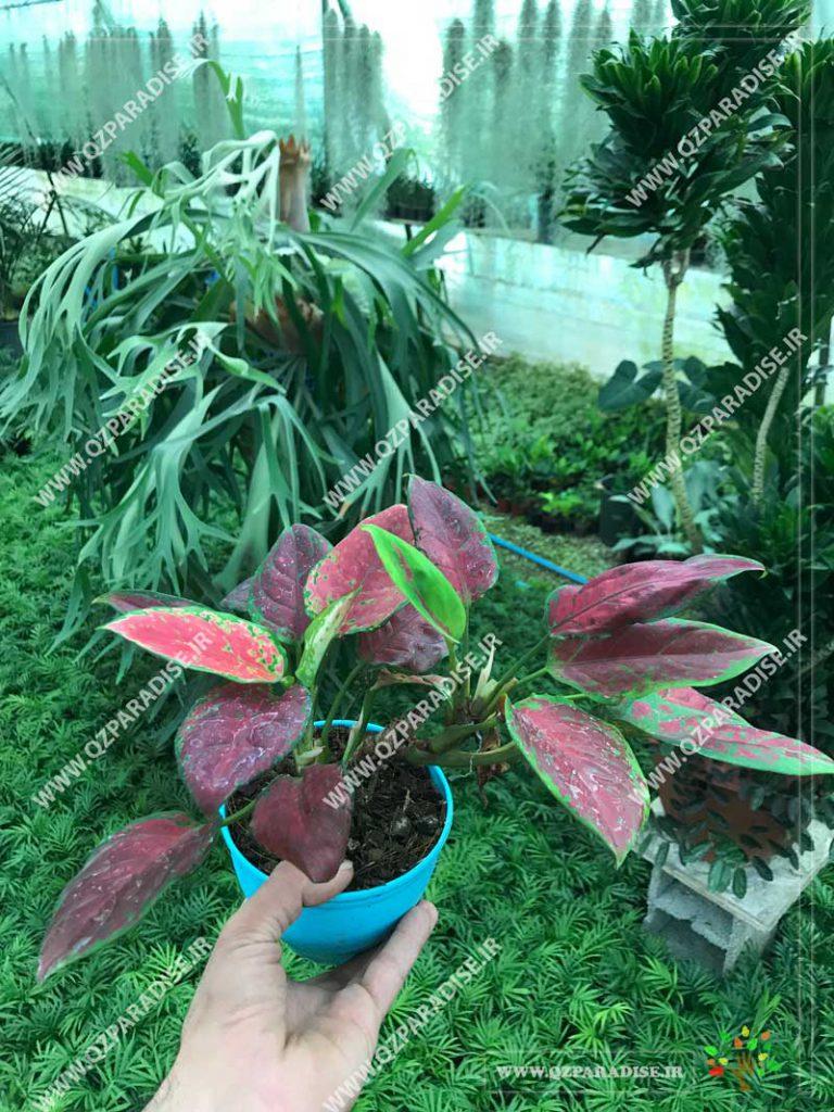 گیاه آگلونما قرمز مینیاتور