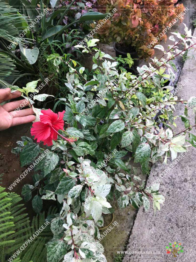 گیاه ختمی ژاپنی با گل