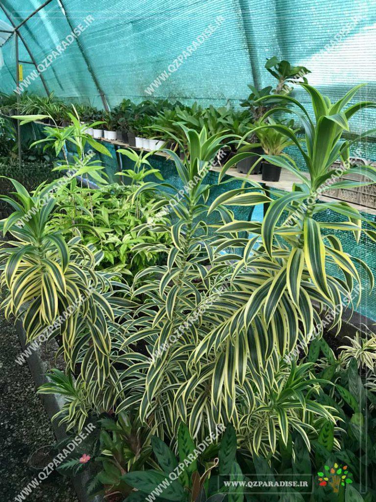 گیاه دراسنا دراماسیس ابلق
