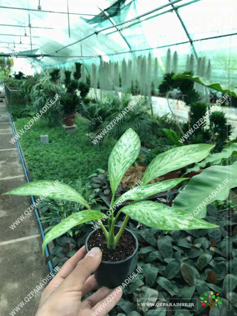 گیاه دیفن باخیا سفید سبز