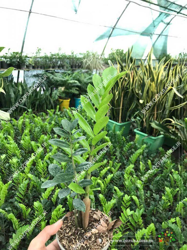 گیاه زامفولیا