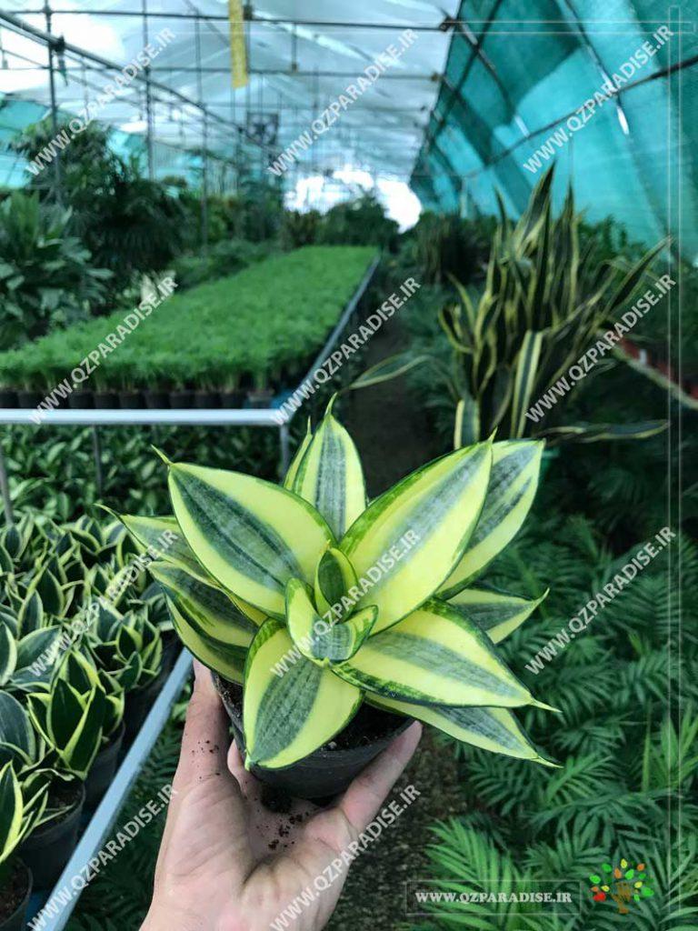 گیاه سانسوریا طلایی کامپکت
