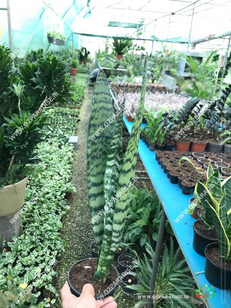 گیاه سانسوریاکراواتی سبز