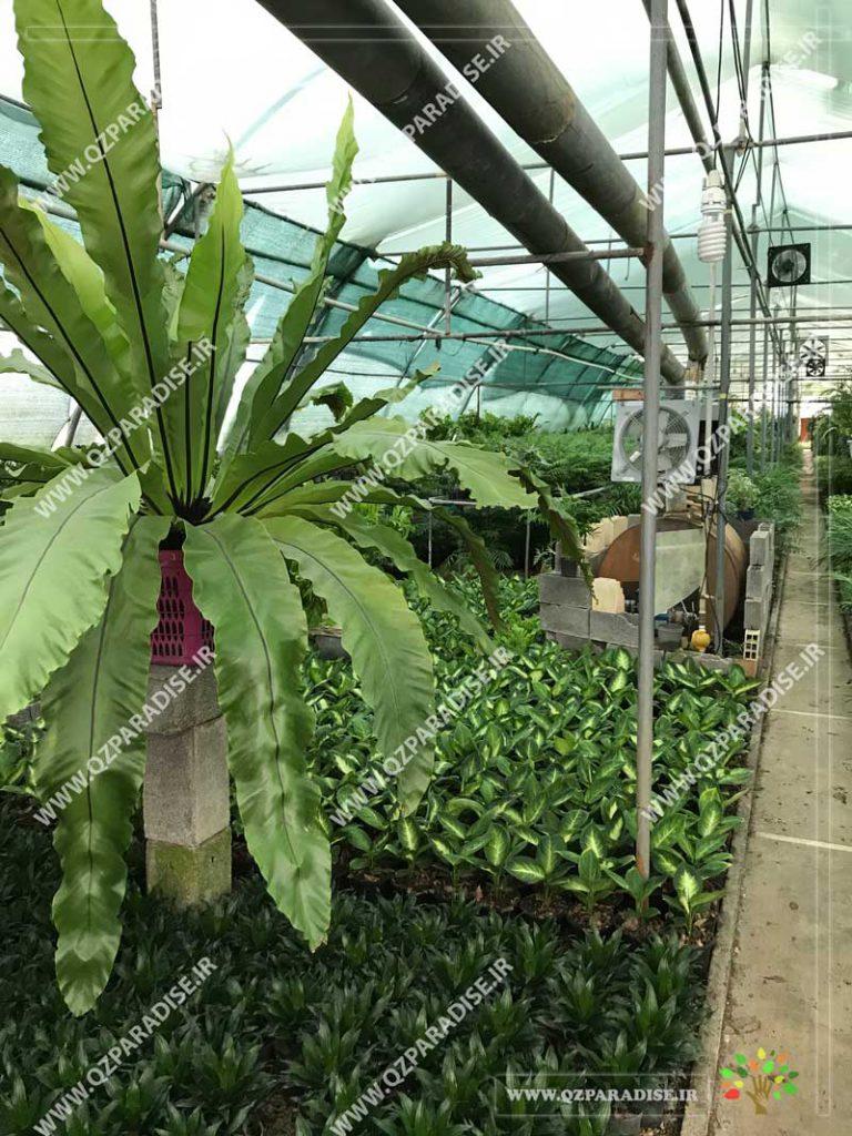 گیاه سرخس آشیانه پرنده بزرگ