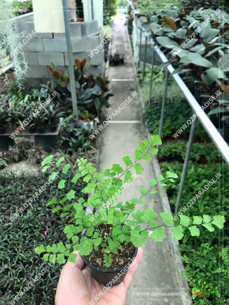 گیاه سرخس بال سیاوش