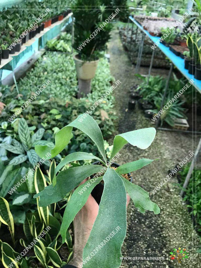 گیاه سرخس شاخ گوزنی کوچک