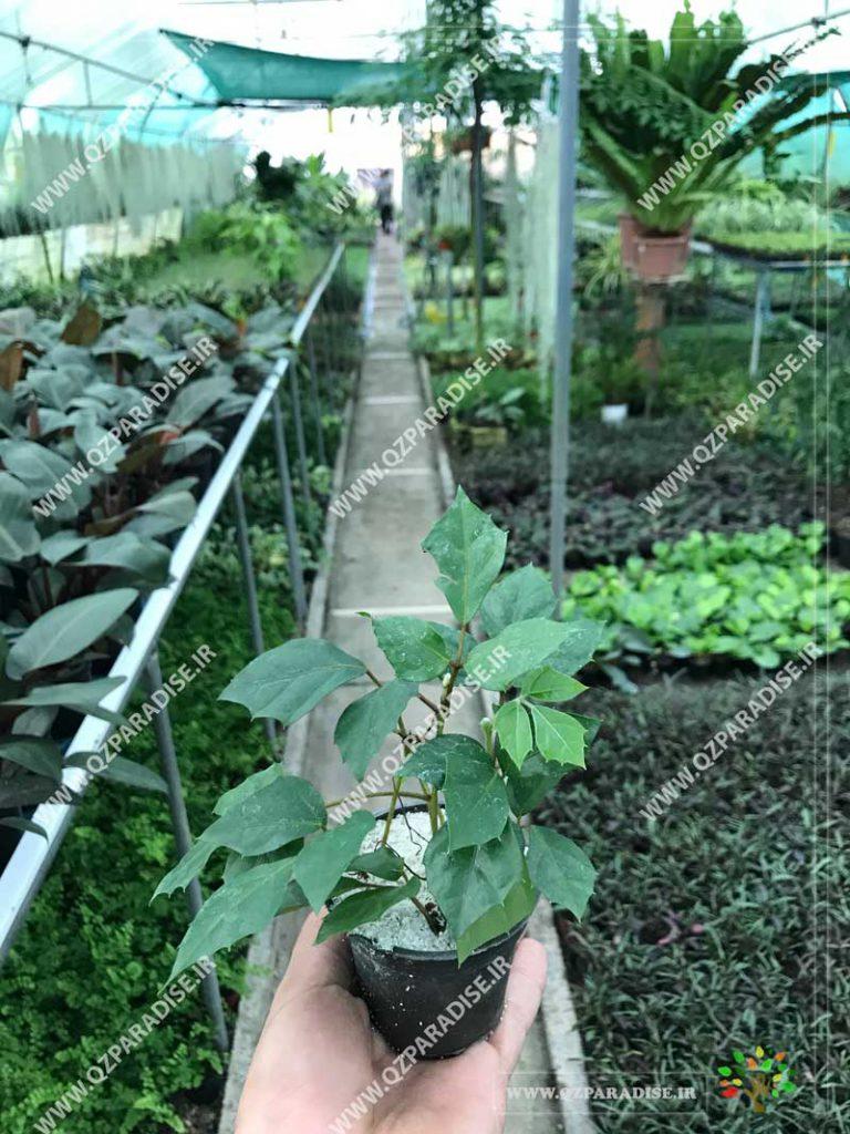 گیاه سیسوس