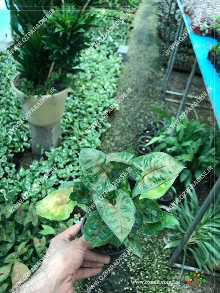 گیاه سینگونیوم ابلق