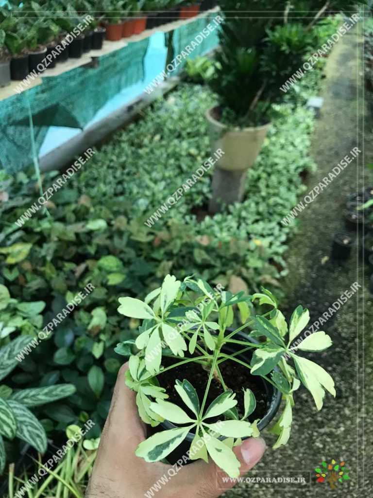 گیاه شفلرا مینیاتور ابلق