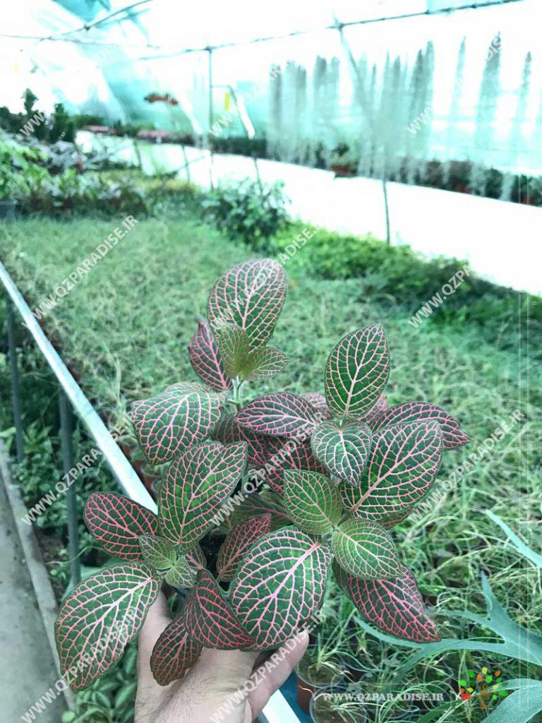 گیاه فیتونیا صورتی سبز
