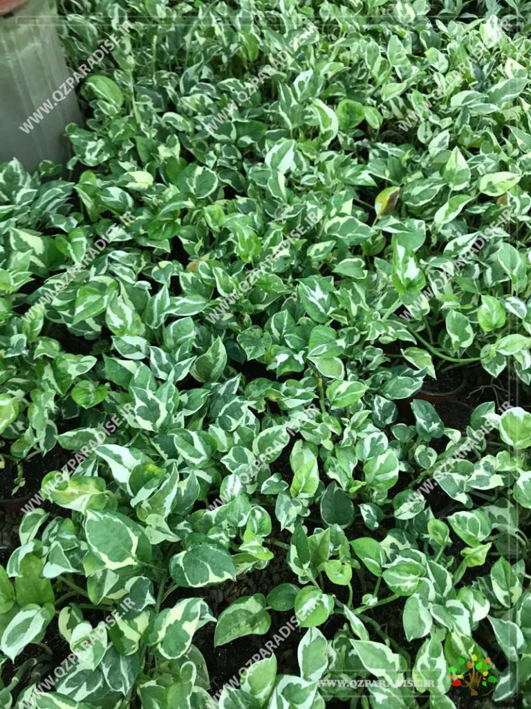 گیاه پتوس اسکاندس سفید