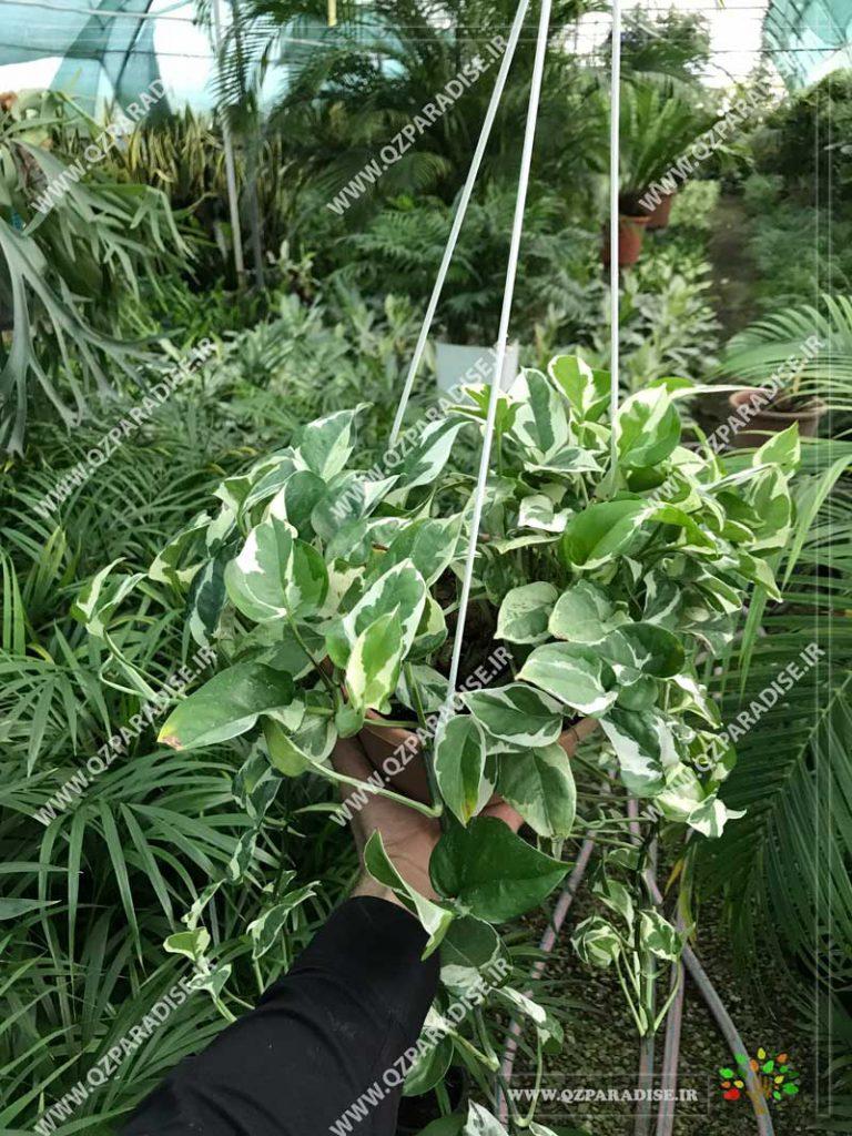 گیاه پتوس اسکاندس سفید آویز