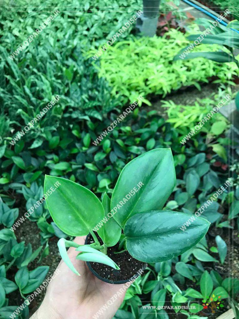 گیاه پتوس فرانسوی