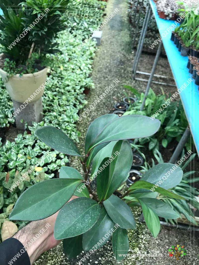 گیاه پپرومیا برگ تیز