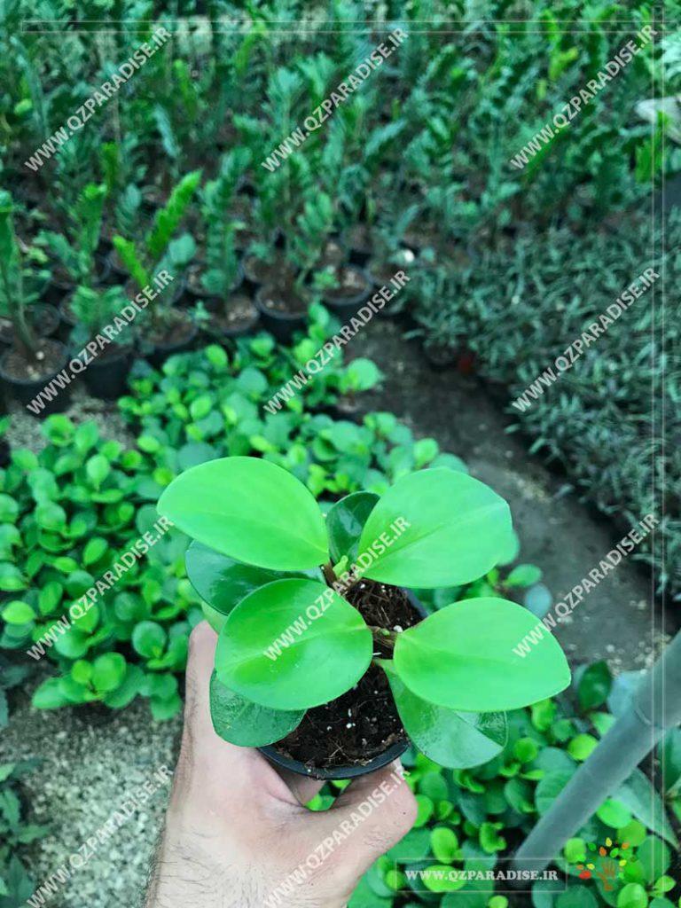 گیاه پپرومیا سبز برگ