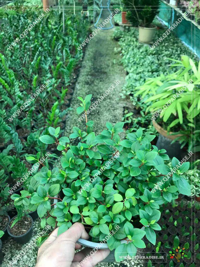 گیاه پپرومیا مینیاتور رونده