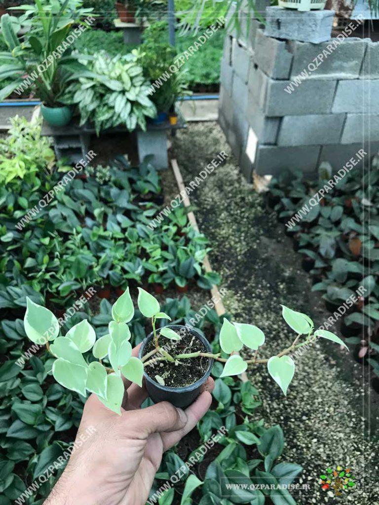 گیاه پپرومیا مینیاتور رونده روشن