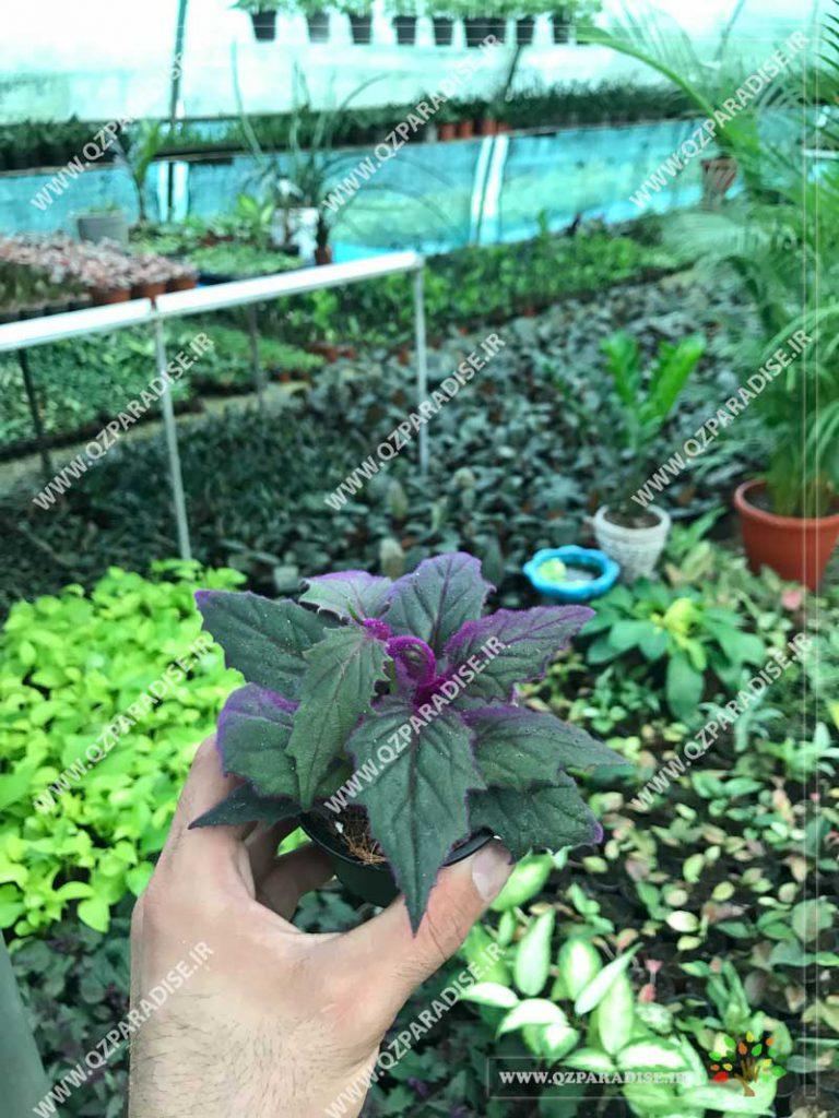 گیاه ژینورا
