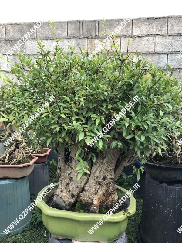 گلخانه تولید بونسای شهریار