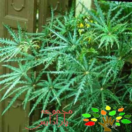 تصویری از این گیاه